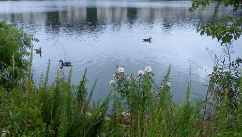 geese and flower