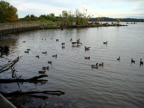 more ducks and geese - 2