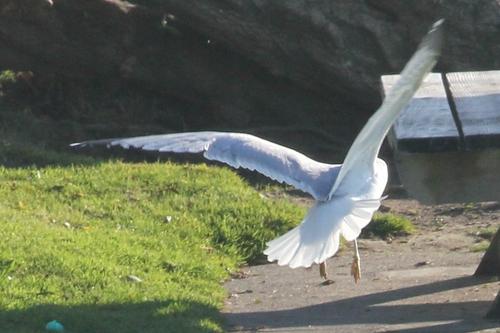 socal beach seagull