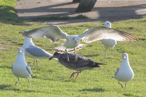 socal beach seagulls