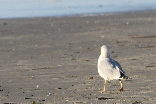 socal beach seagull