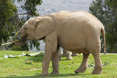 elephant enjoying yellow flowers
