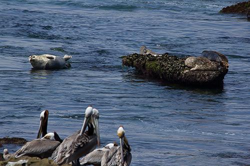 seals & pelicans