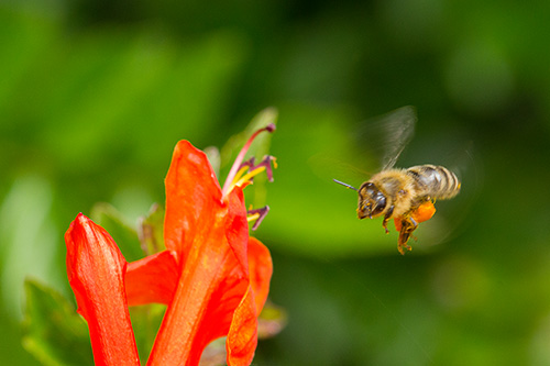 bee near orange honeysuckle