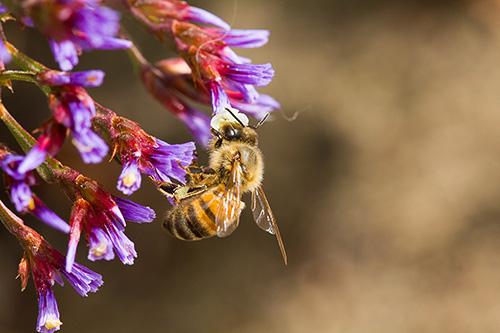 bee purple flower