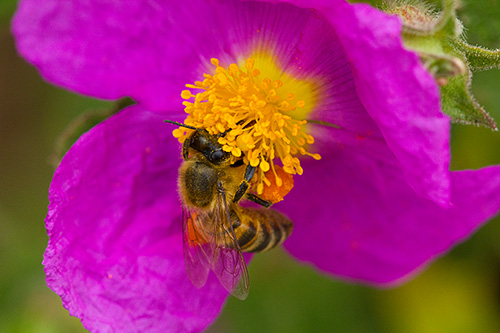 bee on purple/pink flower
